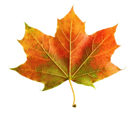 Neat colorful maple leaf on white background, rich in color and detail Stock Photo - 14642175