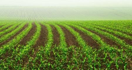Řádky mladých rostlin kukuřice na vlhkém poli v mlhavé ráno