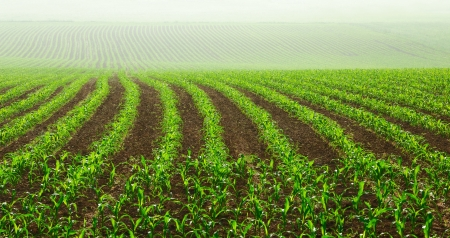 farmlands: Rows of young corn plants on a moist field in a misty morning