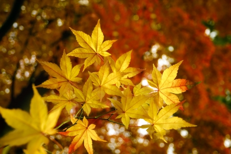 Golden maple leaves in autumn with red tree tops in the background Stock Photo - 14642122