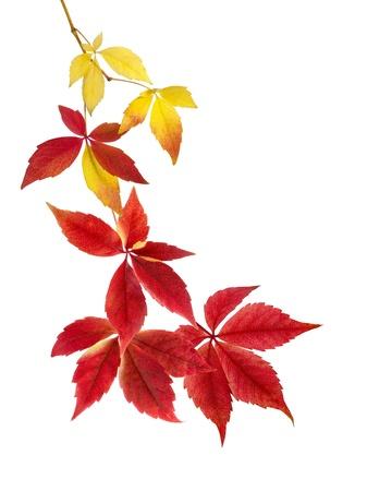 Elegantní uspořádání krásně visí podzimní listí na bílém pozadí