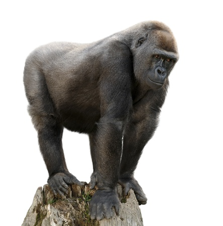 hominid: Gorilla maestosamente in piedi su un belvedere, isolato su bianco purte Archivio Fotografico