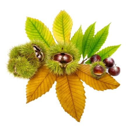 Studio isolato colpo di castagne ordinatamente disposti su foglie verdi e gialle