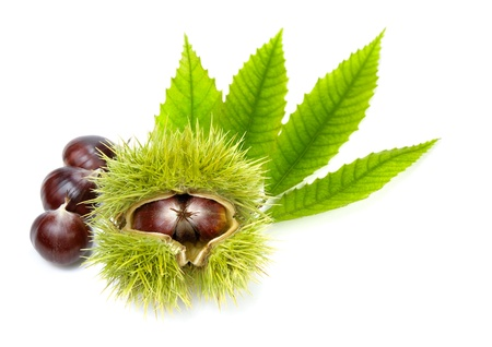 Isolated studio shot of edible chestnuts and fresh green leaves  photo