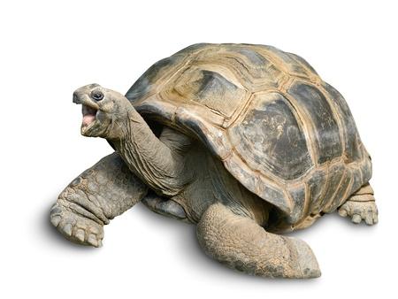 schildkröte: Tier Porträt einer schönen Riesenschildkröte suchen lustig und fröhlich, isoliert auf weiß