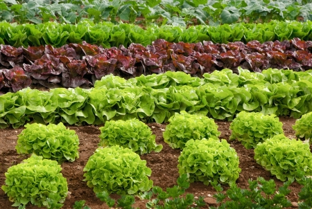 Rows of fresh lettuce plants in the countryside on a sunny day Stock Photo