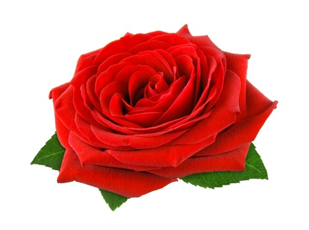 single rose: Fully blossomed, gorgeous red rose with leaves on pure white background