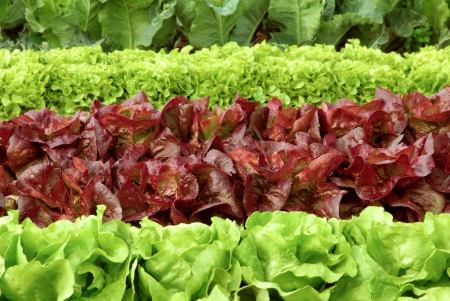 Rows of fresh lettuce plants on a field, ready to be harvested Stock Photo