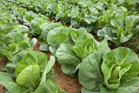 cabbage patch: Rows of fresh cabbage plants on the field before the harvest Stock Photo
