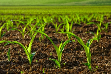 monoculture: Rows of sunlit young corn plants on a moist field