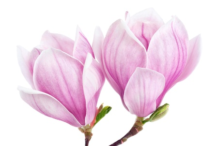 Bright studio shot of two magnolia blossoms isolated on pure white photo