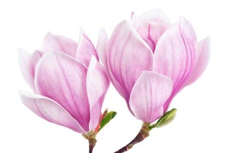 Brillante foto de estudio de dos flores de magnolia aislada en blanco puro Foto de archivo