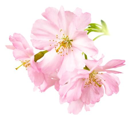 arbol cerezo: Estudio aislamiento de delicadas flores de color rosa brillante de cerezo en formato cuadrado Foto de archivo