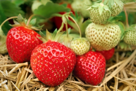 strawberry plant: Ripe and unripe strawberries growing on the ground