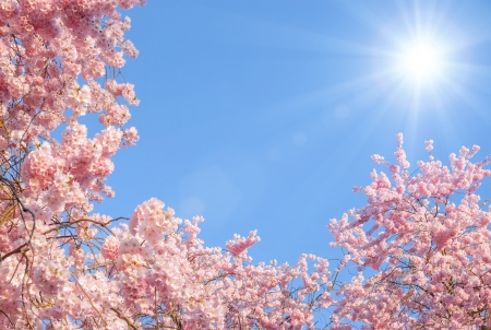 Blossoming cherry trees framing the nice blue sky with the sun photo