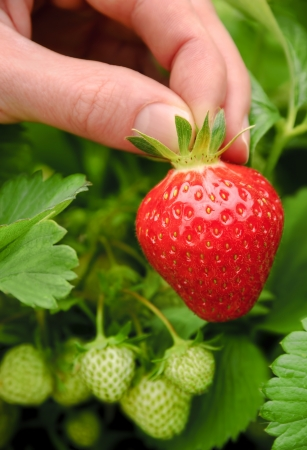 plucked: Perfect fresh strawberry being plucked, with green leaves in the background  Stock Photo