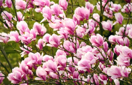 Springtime shot with magnolia blossoms on the tree, with soft light Stock Photo - 17897581