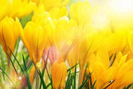 Yellow crocusses being flooded with bright beautiful sunlight Stock Photo - 17897572