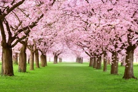 Jardin d'agrément avec majestueusement la floraison de grands cerisiers sur une pelouse verte fraîche