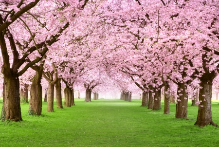 Ornamental garden with majestically blossoming large cherry trees on a fresh green lawn photo