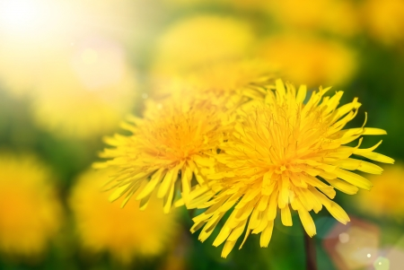 warmth: Dandelion blossoms with shallow focus being flooded with warm sunlight Stock Photo