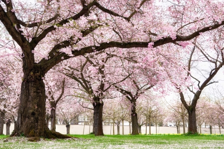 kersenbloesem: Bloeiende kersenbomen in een siertuin, pastel kleuren met dromerige gevoel