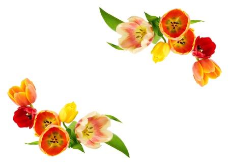 flower arrangements: Tulips building an ornamental border on white copy space   Stock Photo