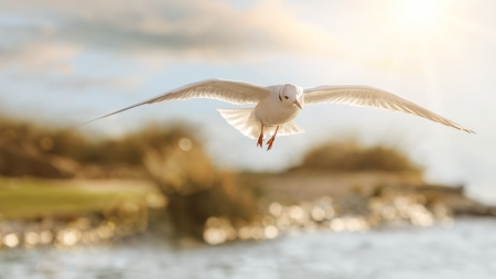 Seagull flying above water with the sun gently shining in the background Stock Photo - 18245596