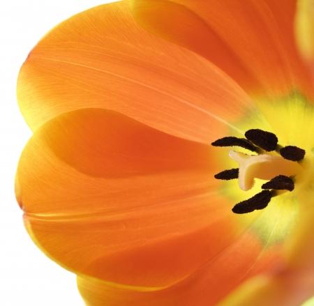 Detailní záběr na plně rozkvetl oranžové tulipány na bílém pozadí