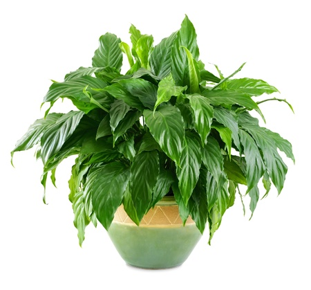 houseplant: Lush, shiny indoor plant in a nice pot, studio isolated on white background Stock Photo