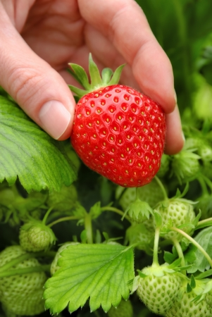 Perfect fresh strawberry being plucked, with green leaves in the background
