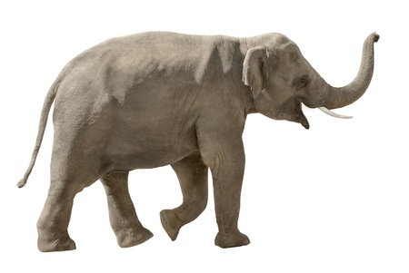 Asian elephant walking and raising his trunk in a cheerful way, isolated on white Stock Photo