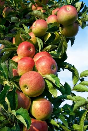 arbol de manzanas: Tiro al aire libre colorida que contiene un mont�n de ricas manzanas rojas en una rama listos para ser cosechados Foto de archivo
