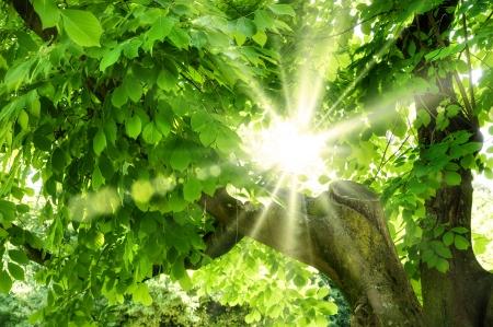 아름답고 선명한 녹색 잎을 통해 빛나는 여름의 태양 스톡 콘텐츠