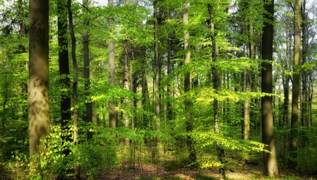 The sun shining warmly into a forest in spring and making the fresh foliage pop Stock Photo - 18952151