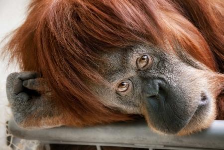 orangutan: Emotionally catching portrait of a beautiful orangutan looking directly into the camera