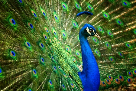 Proud male Asian peacock shows off his fascinating plumage Фото со стока - 23073168