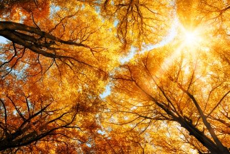 shining through: Il caldo sole autunnale splende attraverso il baldacchino d'oro di faggi alti Archivio Fotografico