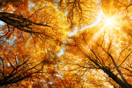 The warm autumn sun shining through the golden canopy of tall beech trees photo