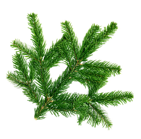 Studio closeup of a fresh fir twig, isolated on white background photo