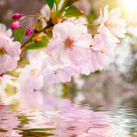 Cherry blossoms closeup with water underneath, showing their reflection