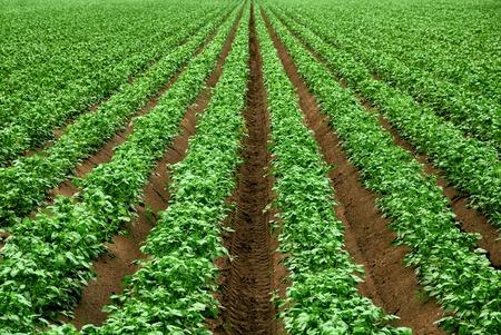 暗いの肥沃な土壌に活気に満ちた緑の作物の行とフィールド 写真素材