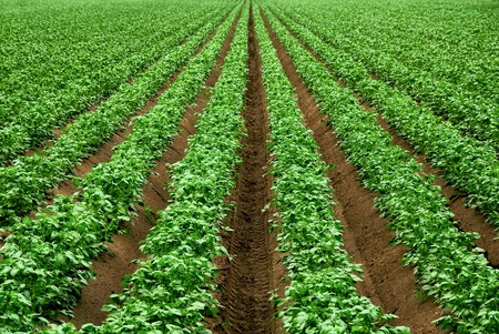 monoculture: Field with rows of vibrant green crop plants on dark fertile soil