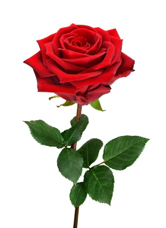 Fully blossomed, perfect red rose with stem and leaves on pure white background