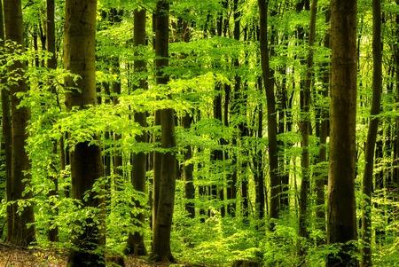 Bella foresta di faggio Archivio Fotografico