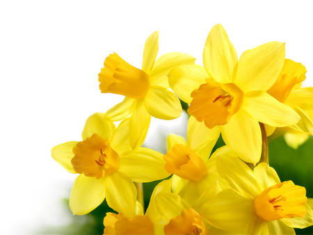 Bright studio shot of a bunch of blossoming daffodils isolated on white background