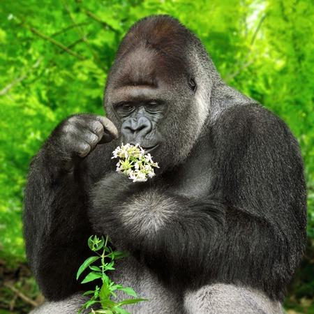 gorila: Gran gorila de espalda plateada sosteniendo suavemente un montón de pequeñas flores y observando de cerca Foto de archivo