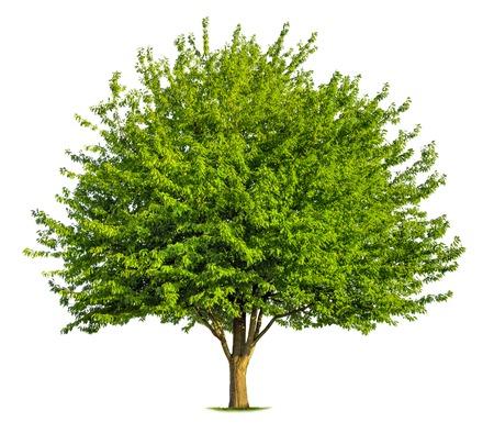 Prachtige verse groene bladverliezende boom die geïsoleerd op zuivere witte achtergrond Stockfoto