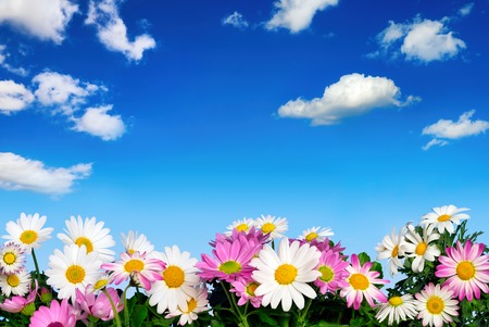 Lush flower bed with white and pink daisies in front of the deep blue sky and fluffy little clouds photo