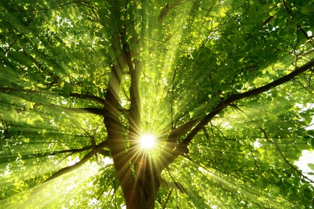 The warm morning sun dramatically casting intense rays through a large tree Stock Photo